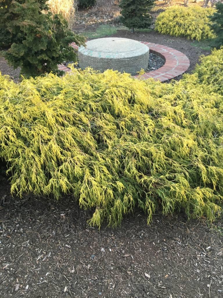Chamaecyparis pis. F. Aurea False Cypress, Mops Goldthread, #3