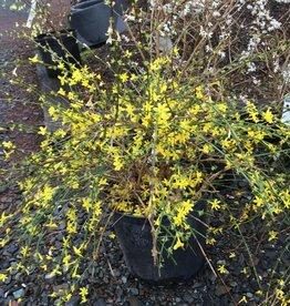 Jasminum nudiflorum Jasmine - Winter, #3