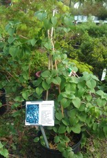 Schizophragma hydr. Moonlight Hydrangea - Vine, Moonlight, #3