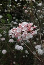 Viburnum carlesii Viburnum - Korean Spice Fragrant Viburnum, #3