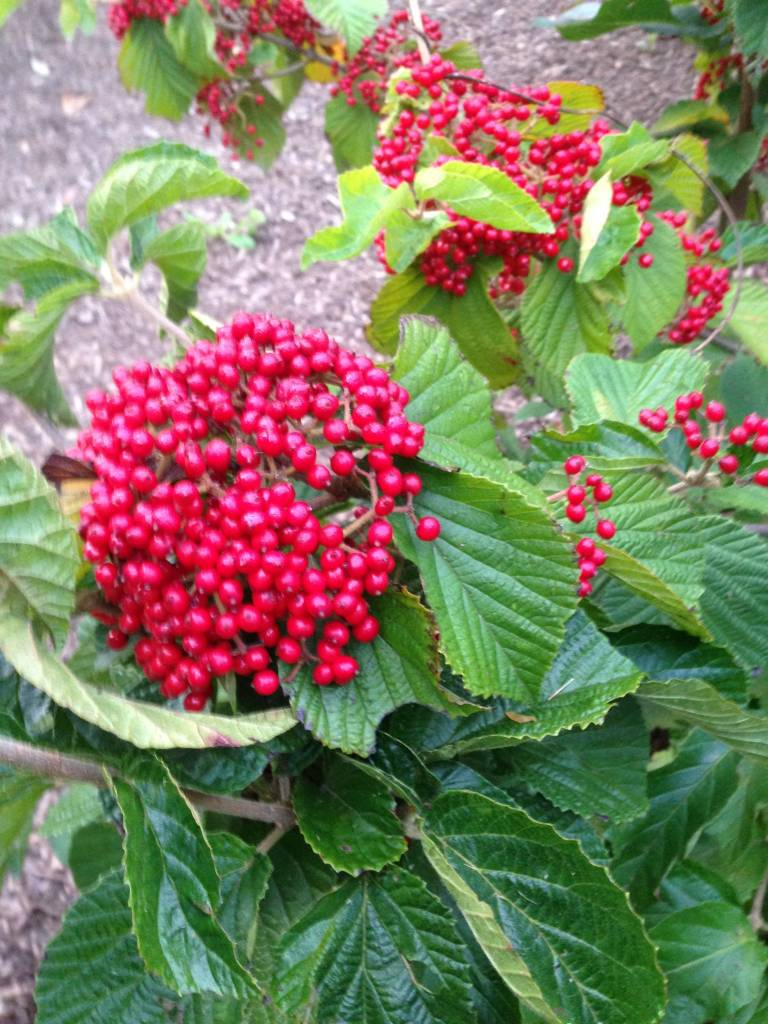 Viburnum dil. Henneke Viburnum - Linden, Cardinal Candy, #3