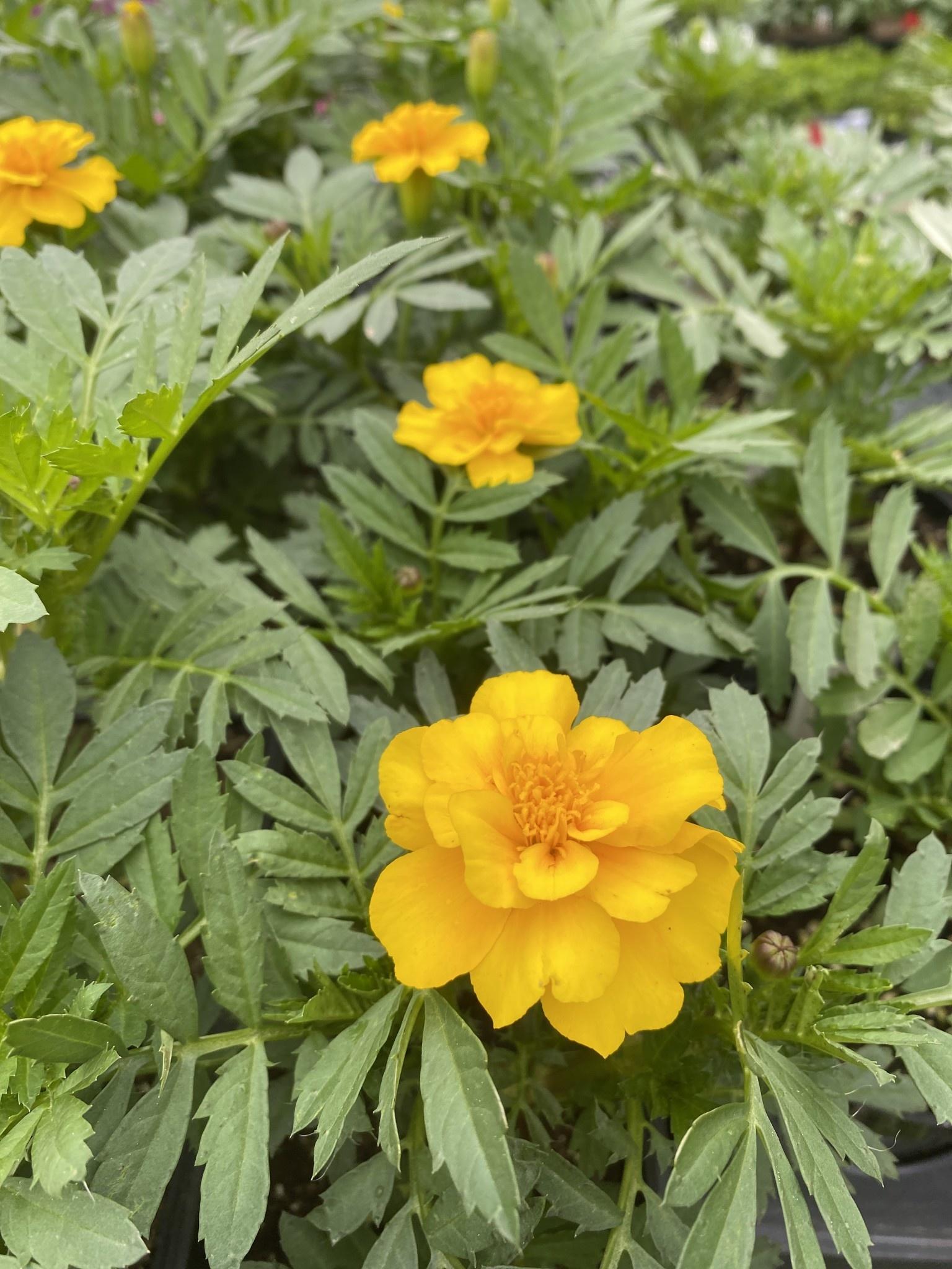 Marigold, Durango Yellow