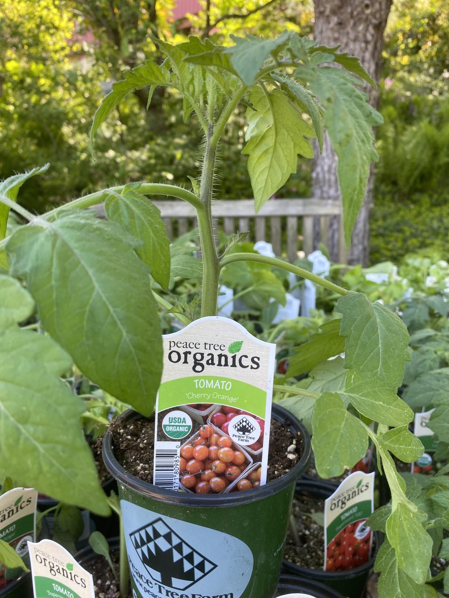 Tomato, Cherry orange- Vegetable, organic Qt