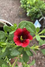 "Calibrachoa Pomegranate Punch, 4.5"" pot"