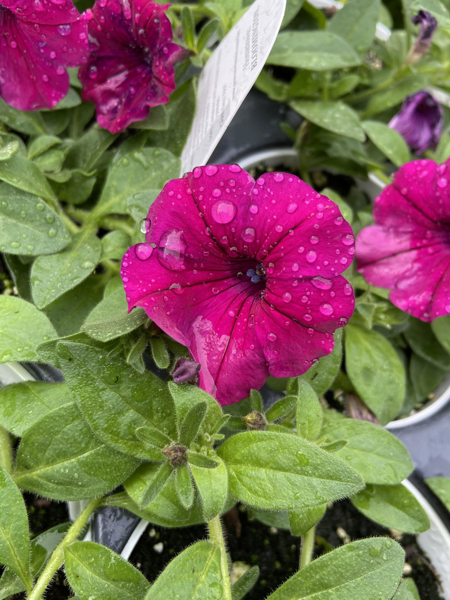 "Petunia, PW Supertunia Royal Magenta, 4.5"" pot"