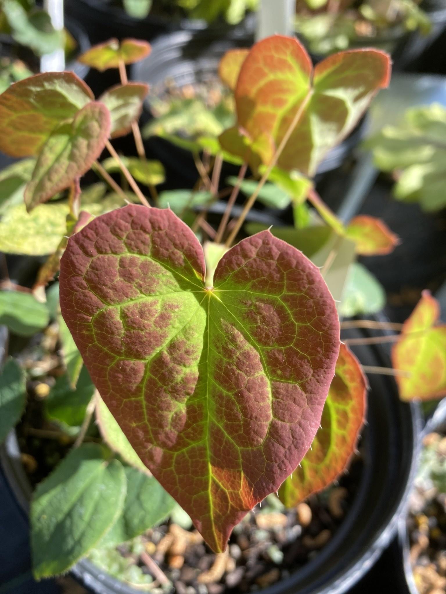 Epimedium Roseum Barrenwort, Roseum, #1