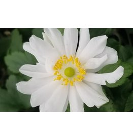 - Anemone Snow Angel Anemone,  #1