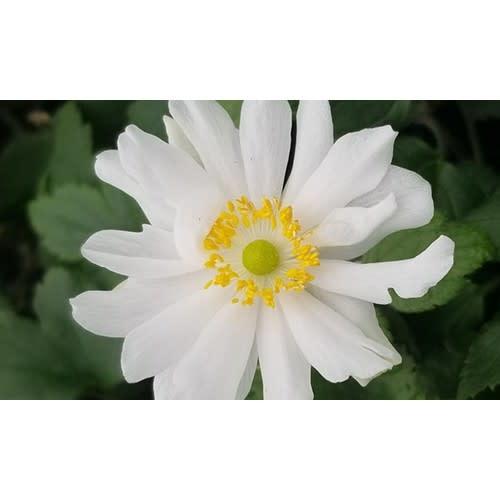 none Anemone Snow Angel Anemone, Dainty Swan, #1