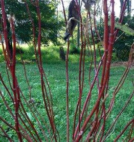 Nativar Shrub Cornus stolon. Farrow Dogwood - Red Twig, Arctic Fire, #3