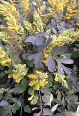 CORYDALIS Canary Feathers #1