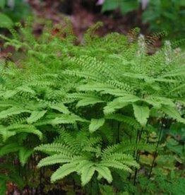 Adiantum pedatum Fern - Northern Maidenhair, #1