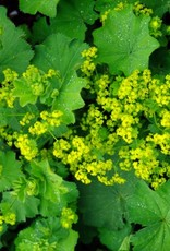 Alchemilla mollis Thriller Lady's Mantle, Thriller, #1