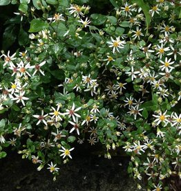 Aster divaricatus Aster, White Wood, #1