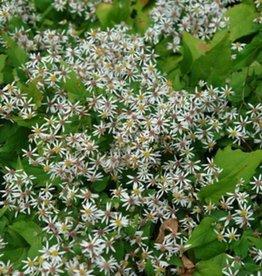 Aster divaricatus Eastern Star Aster, White Wood - Eastern Star, #1