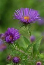 Aster novae-angliae Aster, New England, #1