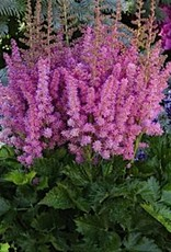 Astilbe Little Visions in Pink Astilbe, Little Visions in Pink, #1