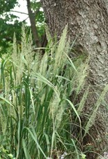 Calamagrostis brachytricha Grass -  Ornamental Feather Reed, #1