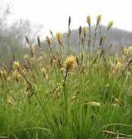 Carex pensylvanica Grass - Ornamental Sedge, Oak, #1
