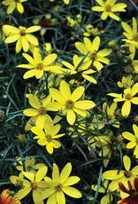 Coreopsis Electric Avenue Tickseed, Mayo Flower of Hope, #1