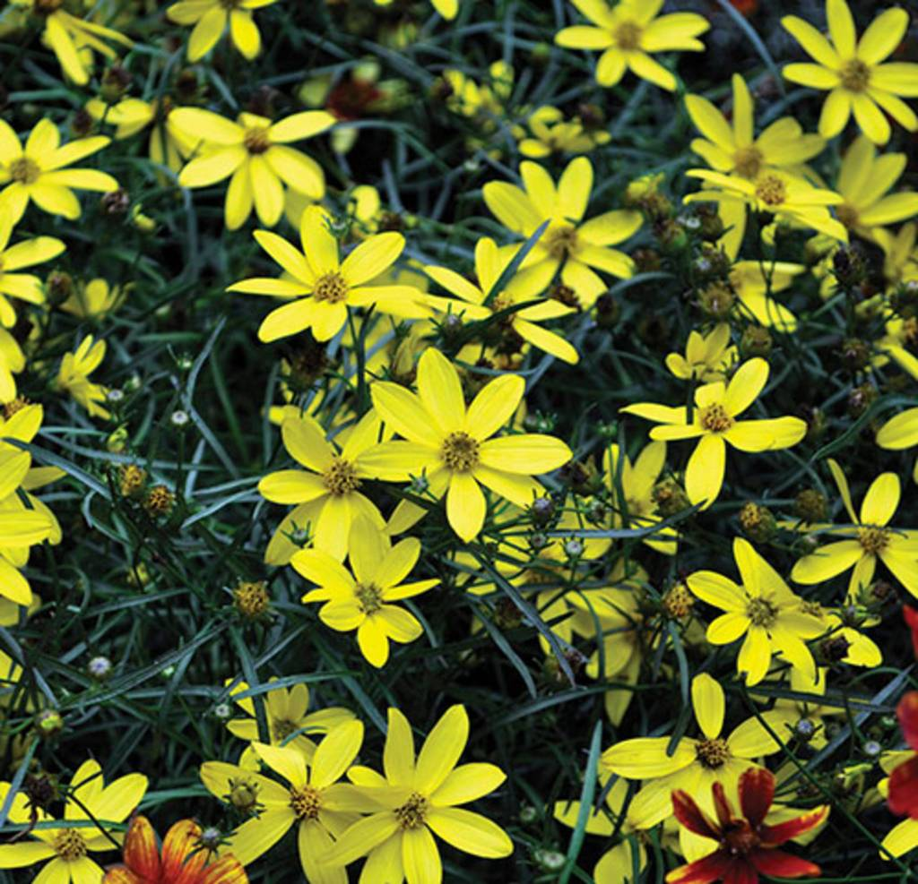 Coreopsis Electric Avenue Tickseed, Mayo Flower of Hope, #1