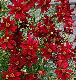Coreopsis Red Satin Tickseed, Red Satin, #1