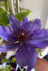 Clematis The President, Clematis,  #1