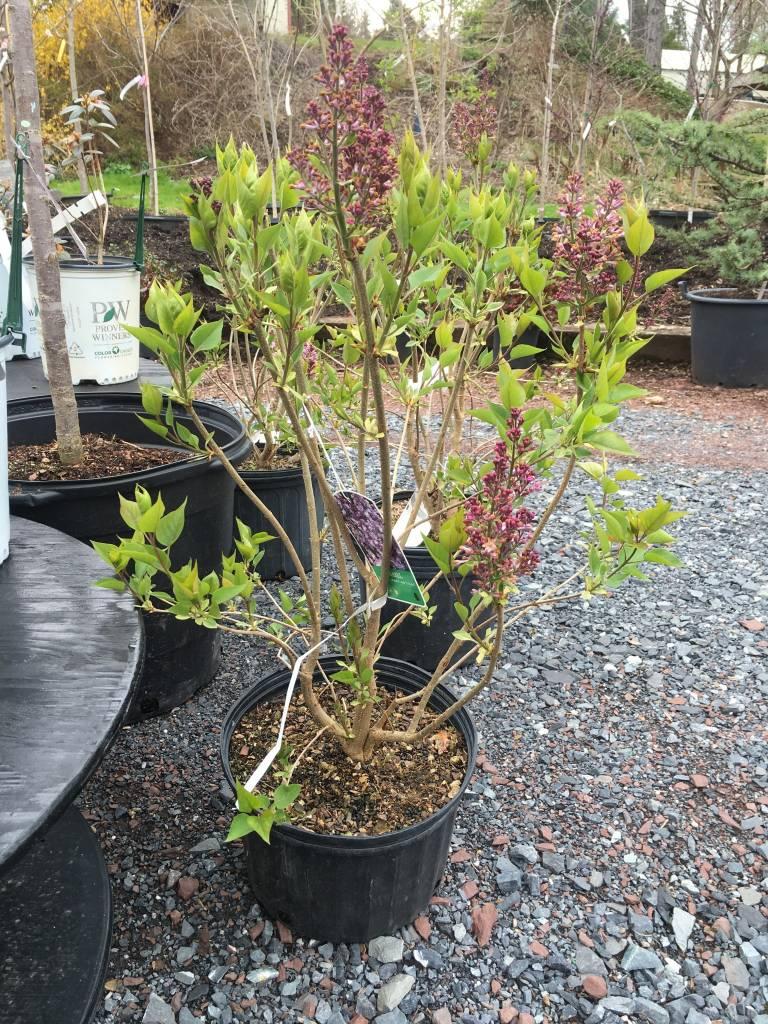Syringa x hyacin. Anabel Lilac, Anabel, #7