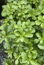 Pachysandra terminalis Pachysandra, FLAT of 50 plants
