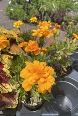 Marigold, Durango orange