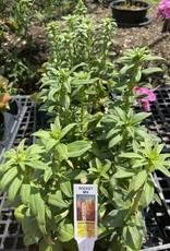 Snapdragon, Market pack of 6 plants
