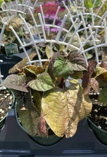 "Vine, Dolichos Lab-lab Hyacinth Bean, 4.5"" Pot"