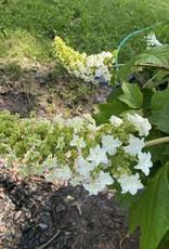 Nativar Shrub Hydrangea querc. Doughill Hydrangea - Oakleaf, Gatsby Star, #3