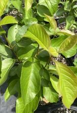 Native Shrub Viburnum Lentago Viburnum - Nannyberry, #3