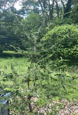 Chamaecyparis ob. Filicoides False Cypress, Fernspray, 3-4
