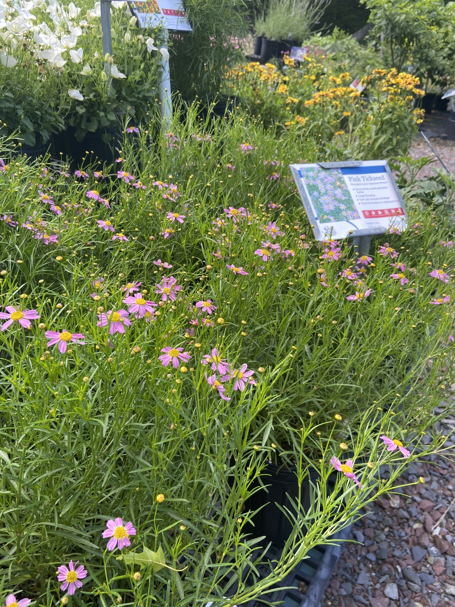 Coreopsis rosea American Dream Tickseed, American Dream, #1