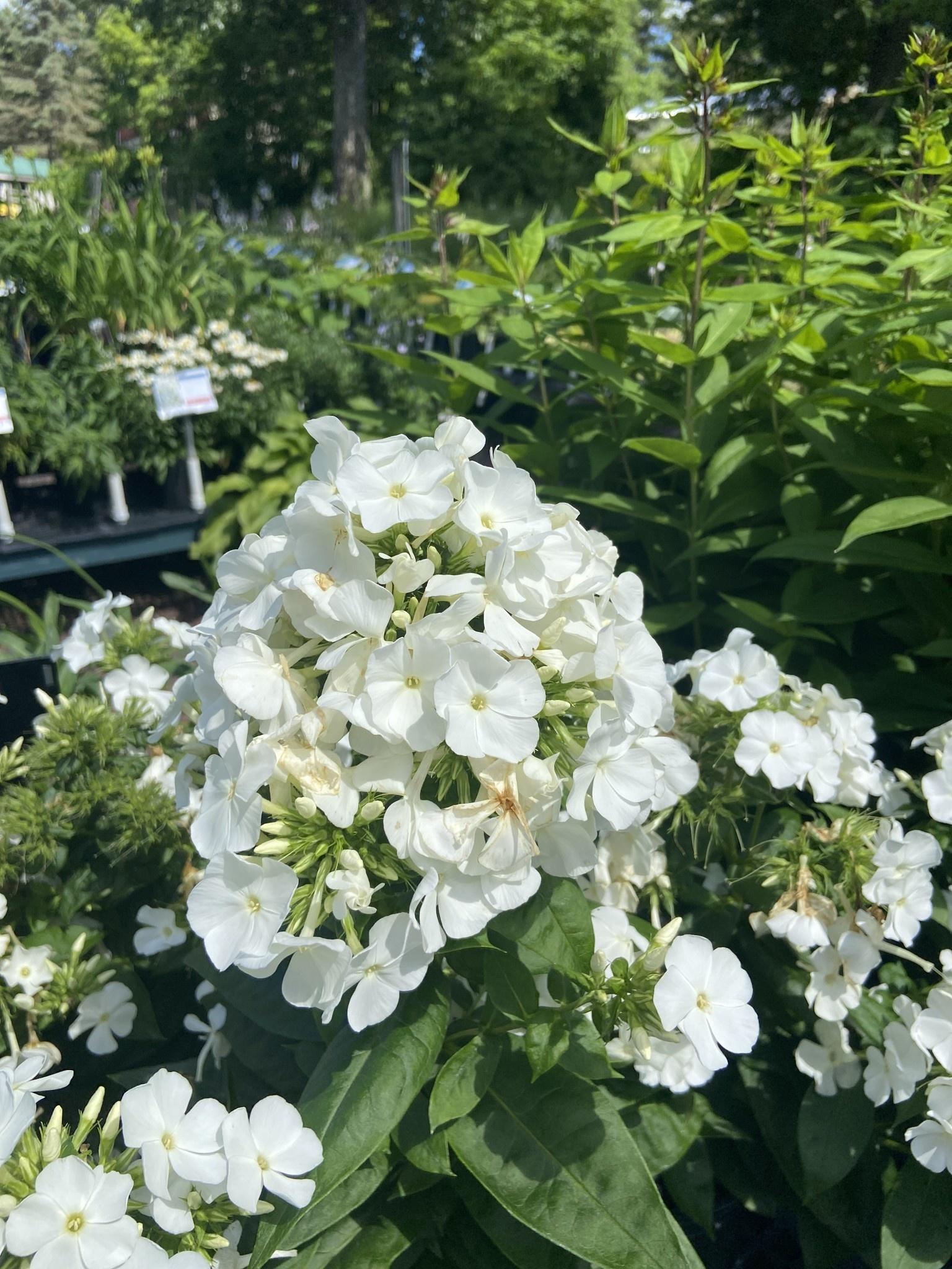 Phlox pan. Flame White Phlox - Garden Phlox, #1