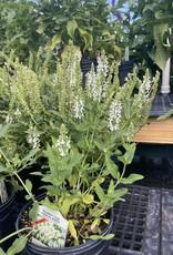 Salvia Lyrical White, Sage #1