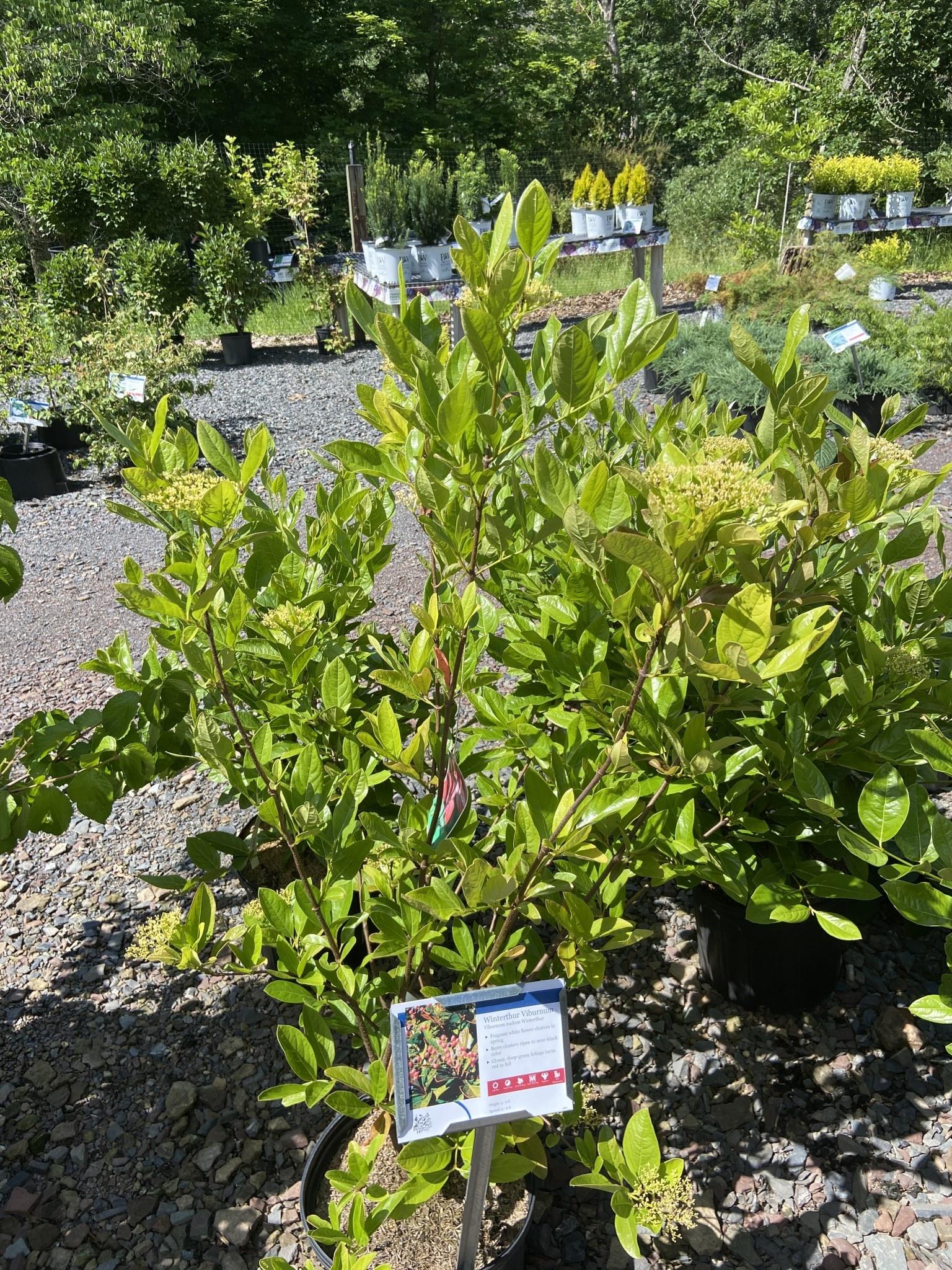 Viburnum nudum Winterthur Viburnum - Witherod, Winterthur, #3