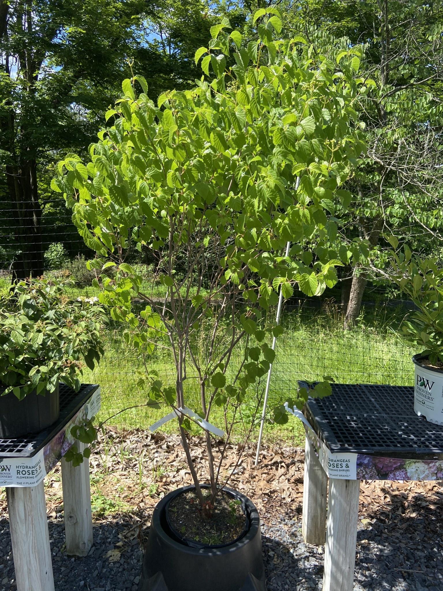 Native Shrub Viburnum dentatum Viburnum - Arrowwood, #7