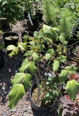 Mahonia bealei Oregon Grape Holly - Leatherleaf, #3