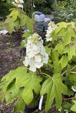 Hydrangea querc. Hydrangea - Oakleaf, #3