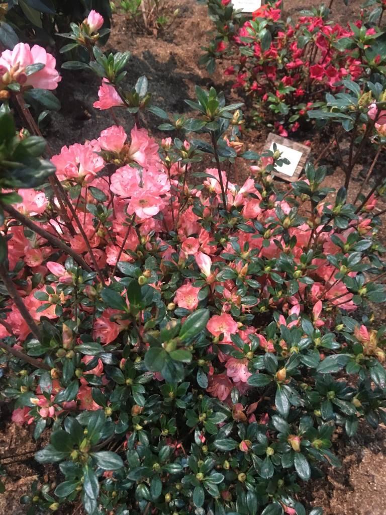 Azalea Blaauw's Pink, #3