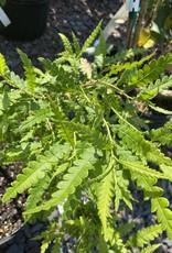 Native Shrub Comptonia peregrina, Sweet Fern #3 container