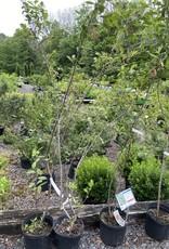 Nativar Shrub Aronia arb. Brilliantissima  Chokeberry, #3