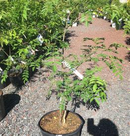 Native Tree Zanthoxylum americanum, Prickly Ash #3