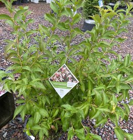 Abelia mosanensis Sweet Emotion, Abelia, Fragrant Hardy, #3