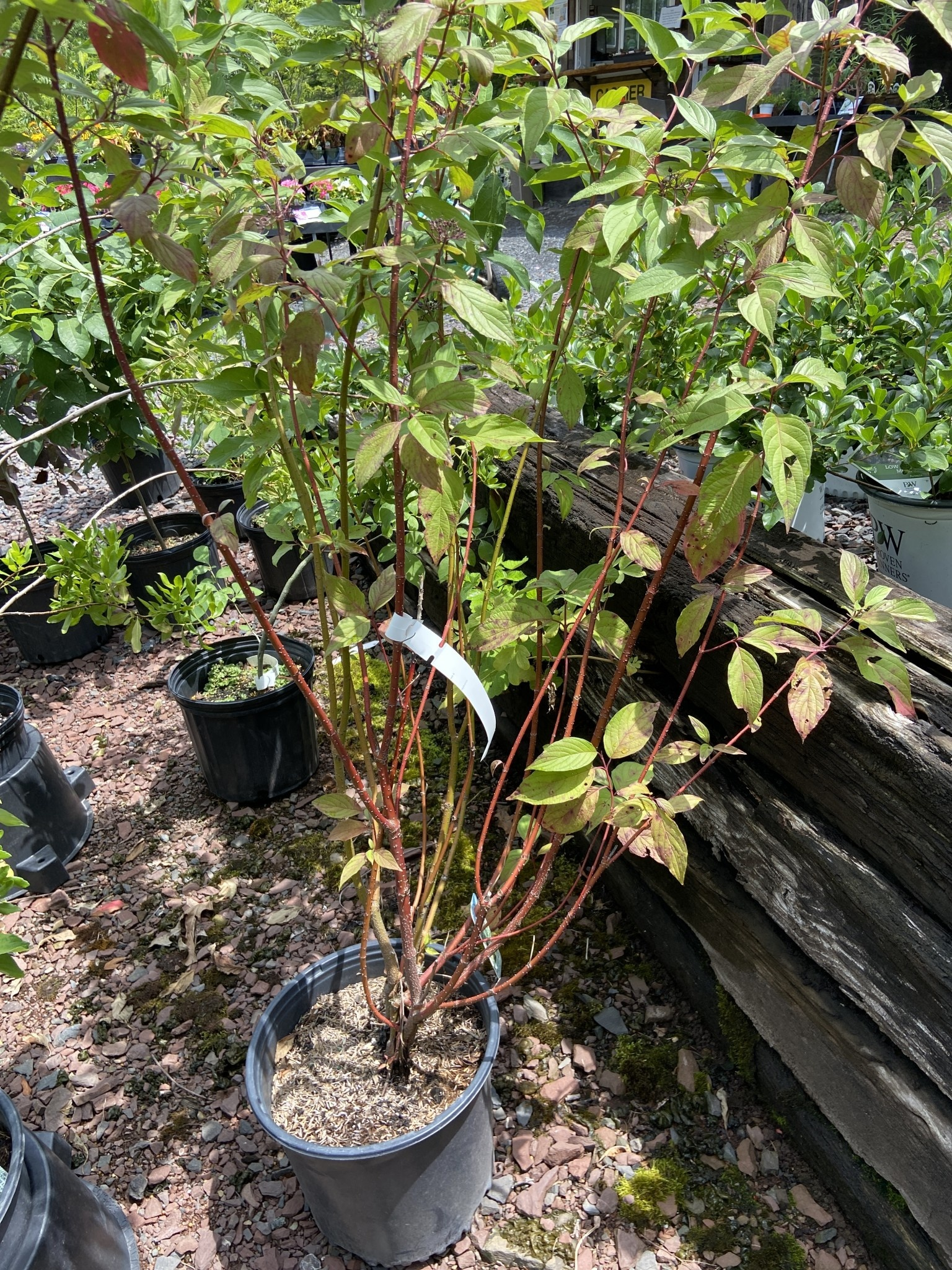 Cornus stolon. Baileyi Dogwood - Red Twig, Baileyi, #3