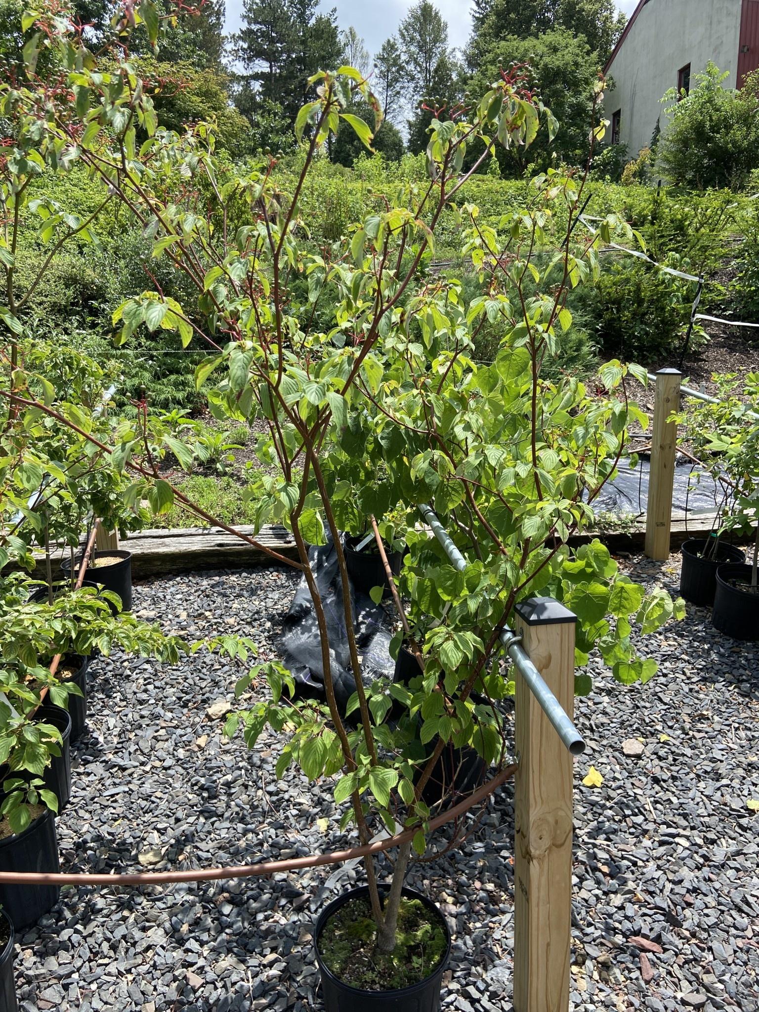 Cornus alternifolia Dogwood - Pagoda, #3