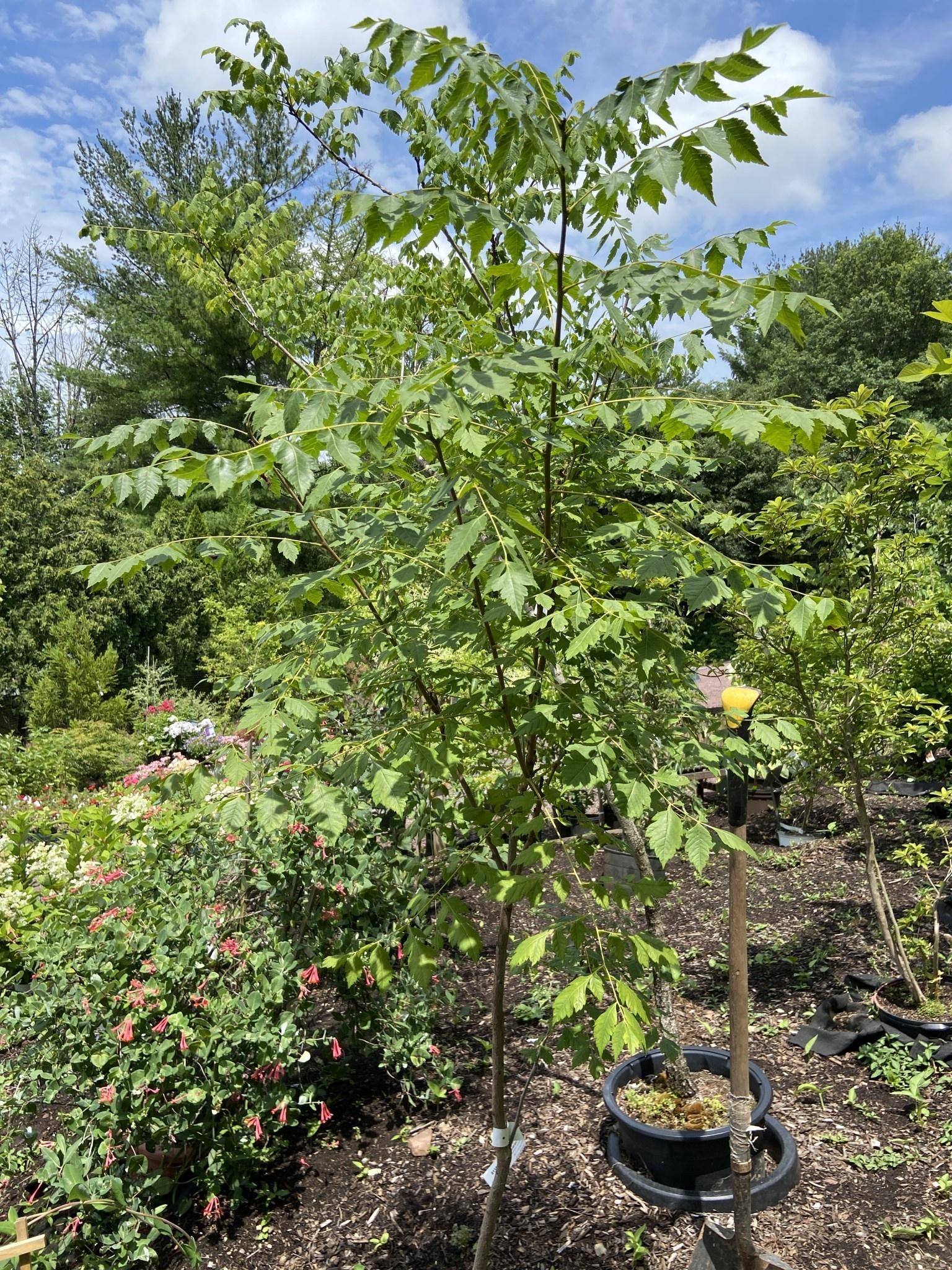 Koelreuteria paniculata Goldenrain Tree - Panicled, #15
