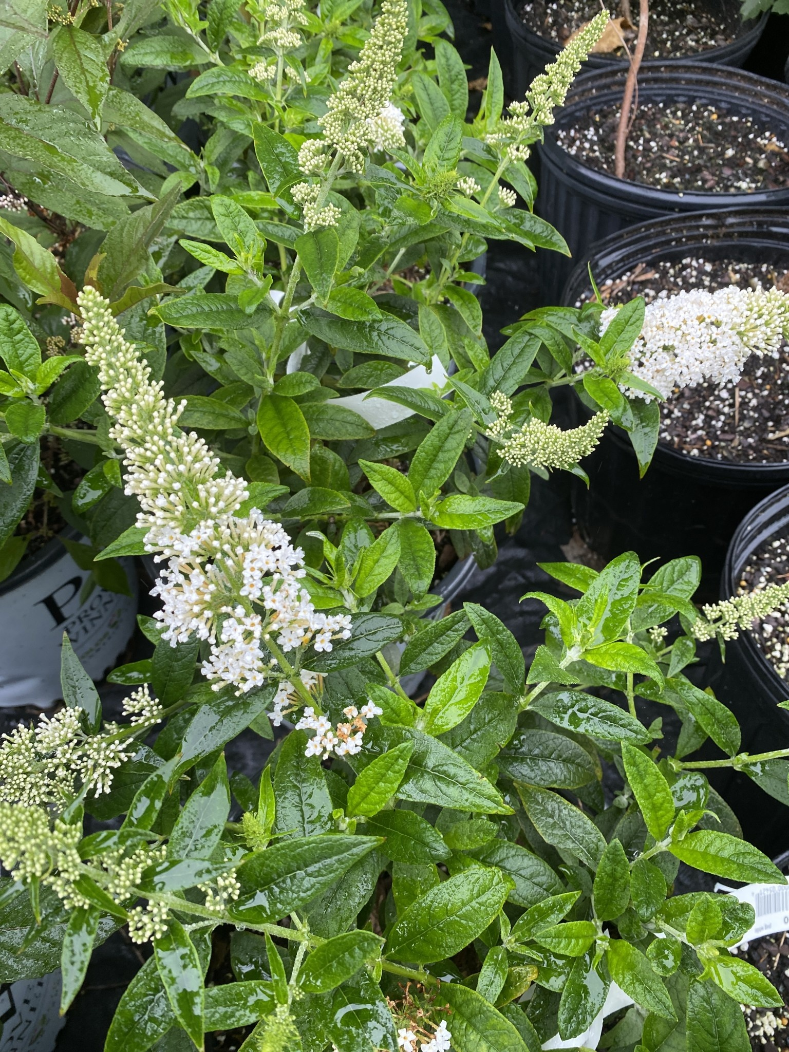 Buddleia x Pugster White, butterfly bush #3 container